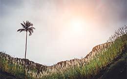 California-Palm